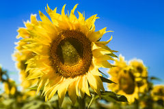 Blooming Giant Yellow Sunflowers Stock Photos