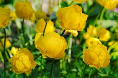 Blooming globeflower in spring Royalty Free Stock Photos