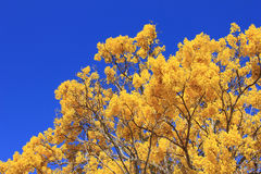 Blooming gold Jacaranda tree Royalty Free Stock Photography