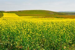 The blooming golden rape flowers in the meadow Stock Photos