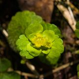 Blooming Golden Saxifrage Chrysosplenium alternifolium with soft edges, selective focus, shallow DOF Royalty Free Stock Image