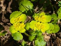 Blooming Golden Saxifrage Chrysosplenium alternifolium with soft edges, selective focus, shallow DOF Stock Images