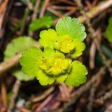 Blooming Golden Saxifrage Chrysosplenium alternifolium with soft edges, selective focus, shallow DOF Stock Photos