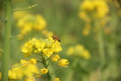 Blooming and golden yellow rape flower with a bee Royalty Free Stock Photo