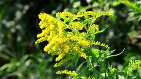 Blooming goldenrod Royalty Free Stock Image