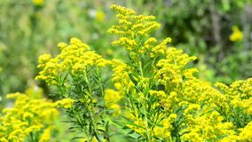 Blooming goldenrod stock video footage