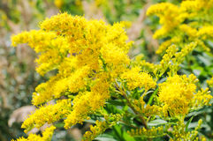 Blooming Goldenrod, Solidago flower Stock Photo