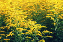 Blooming goldenrod. Solidago, or goldenrods, is a genus of flowering plants in the aster family, Asteraceae.  Royalty Free Stock Photos