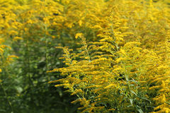 Blooming goldenrod. Solidago, or goldenrods, is a genus of flowering plants in the aster family, Asteraceae.  Stock Photography