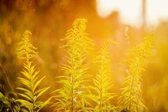 Blooming goldenrod in sunset Stock Photos