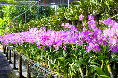 Blooming gorgeous garden of orchids in a greenhouse Royalty Free Stock Photos