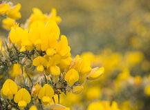 Blooming gorse Royalty Free Stock Photo