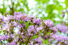 Blooming, graceful purple Royalty Free Stock Image