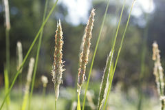 Blooming grass on a meadow. Blooming grass close up view with blurry background Stock Photography