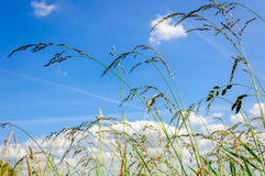 Blooming grasses from close Stock Image