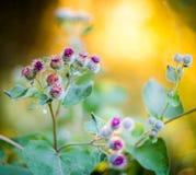 Blooming Great Burdock. (Arctium lappa Stock Image