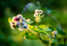 Blooming Great Burdock Royalty Free Stock Image