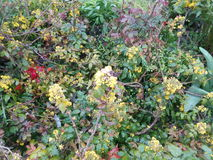 Blooming green bush with yellow flowers Royalty Free Stock Image