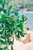 Blooming green cactus on a background of beautiful tropical beaches. Tropical plant. Koh Tao island in Thailand. Exotic Asia stock photos