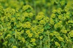 Blooming Green Euphorbia Flowers Stock Photo