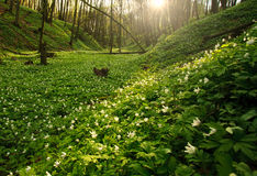 Blooming green forest in the rays of dawn sun Royalty Free Stock Image