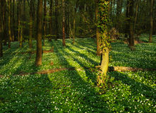 Blooming green forest in the rays of dawn sun Royalty Free Stock Images