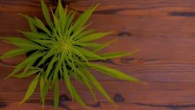 Blooming green medical cannabis. Studio shoot. Blooming green medical cannabis.Wood background, close up stock video