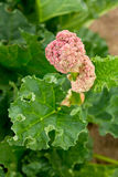 Blooming, green rhubarb. Shallow depth-of-field. Stock Photos