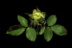 Blooming green roses flower buds on the black background stock video footage