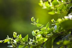 Blooming green vines, branches, spring in the garden. Blooming green vines, branches, spring in the garden Stock Photography