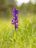 Blooming Green-winged Orchid Stock Photos