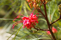 Blooming Grevillea plant Stock Photos