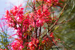 Blooming Grevillea plant in spring Royalty Free Stock Photos