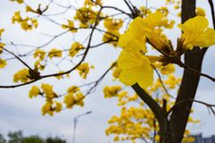 Blooming Guayacan tree. Blooming Guayacan or Handroanthus chrysanthus tree Royalty Free Stock Photos