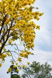 Guayacan or Handroanthus chrysanthus tree. Blooming Guayacan or Handroanthus chrysanthus tree Stock Photography
