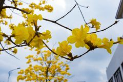 Guayacan or Handroanthus chrysanthus tree. Blooming Guayacan or Handroanthus chrysanthus tree Royalty Free Stock Photo