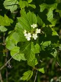 Blooming Guelder rose, Viburnum opulus, flowers and buds close-up, selective focus, shallow DOF Royalty Free Stock Photos