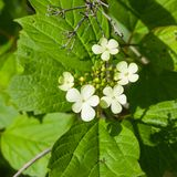 Blooming Guelder rose, Viburnum opulus, flowers and buds close-up, selective focus, shallow DOF Stock Photos