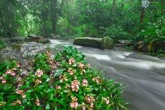 Blooming Habenaria rhodochela flowers in the rain Royalty Free Stock Photos