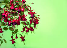 Blooming hanging branch in shades of dark red fuchsia on green b Royalty Free Stock Photography