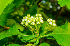 Blooming hawthorn bush Stock Photography