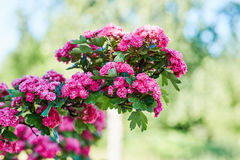 Blooming hawthorn Stock Images