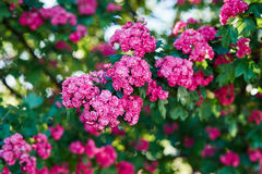 Blooming hawthorn Royalty Free Stock Photos