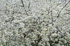 Blooming hawthorn tree Royalty Free Stock Photo
