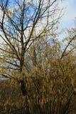 Hazel tree in early blossom, mild winter season in Germany at Middlerhine area. Blooming hazel in golden, yellow light, mild winter season in Germany Royalty Free Stock Image