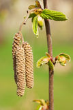 Blooming hazelnut Royalty Free Stock Images