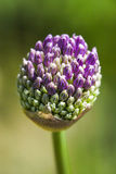 Blooming head of onion flower in garden, spring time. Stock Images