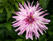 Blooming head of Purple Dahlia Stock Photo
