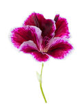 Blooming head of purple geranium flower is isolated on white bac Royalty Free Stock Photo
