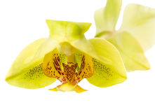 Blooming head of yellow orchid, phalaenopsis is isolated on whit Royalty Free Stock Photos